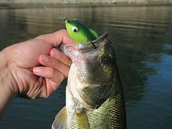 Frog Bass