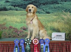 Dino 2012 Golden Retriever Nationals