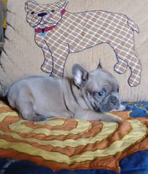 RENA:  $3995 companion or $4295 intact with full AKC registration, Blue Fawn French Bulldog born 11-6-17