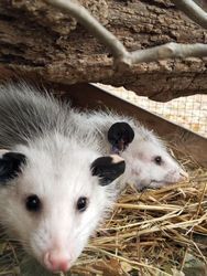 Juvenile Opossums