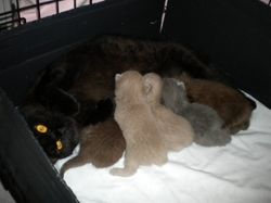 Verity with her first litter of 5 kittens.