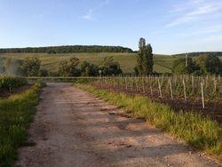 les vignes sous le soleil
