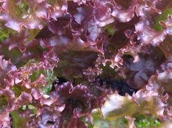 Lovely Red Leaf Lettuce
