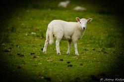 The Lamb of Skye