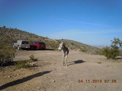 Wild burro at the Johnnie claim