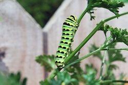 Catapilliar on parsley plant.
