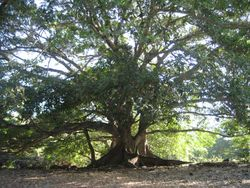 100 year old tree