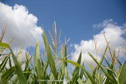 Corn N Clouds