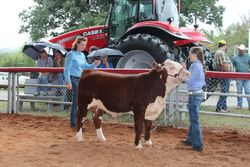 Grand Champion Hereford Bull