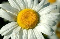 Daisy & Dew