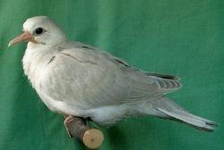 Silver Ivory...3 weeks old