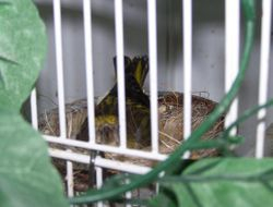 Yellow-crowned canary on nest