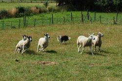 Dj the sheepdog