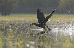 Cormoran - Cormorant