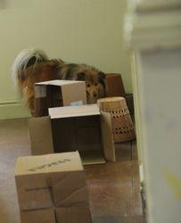 Merlin the shetland sheepdog