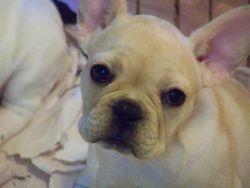Female puppy Lives in Chandler,AZ Lola