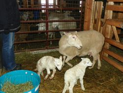 #2 with lambs