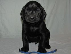 """5 Weeks Old - Blue Collar Male """"Guinness"""""""