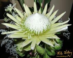 Protea Macro