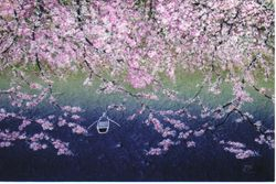 Cherry Blossom  on River Bank