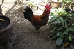 The Next Free Range 'Sir Chief' Rooster!