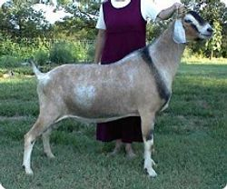 GCH Price O The Field Noble Man