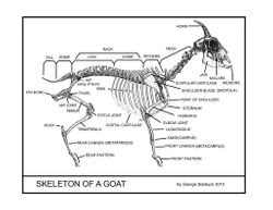 Skeleton of the Dairy Goat