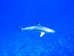 real shark