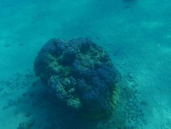Blue coral head