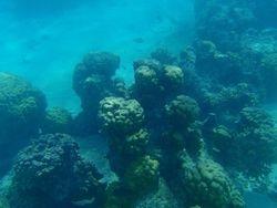 Mushroom coral heads