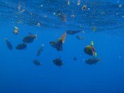 San Benedicto fish