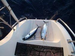 Skipjack tunas - returned