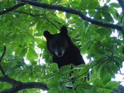 Black bear in hickory tree