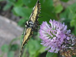 Tiger swallowtail on red clover