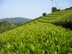 Cultivation of tea in the South of Japan