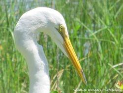 Great Egret posing