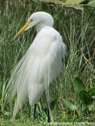 Great Egret with breeding plumage posing