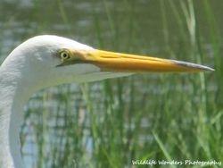 Great Egret up close