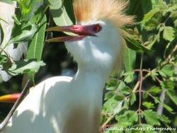 Cattle Egret (close-up)