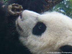 Giant Panda cub (up close)