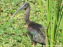 Glossy Ibis with plants