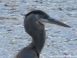 Great Blue Heron (profile)