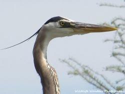 Great Blue Heron (up close)