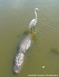 Great Egret riding gator