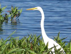 Great Egret standing in front of lake