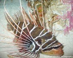 Radial firefish
