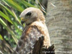 Red-shouldered Hawk profile