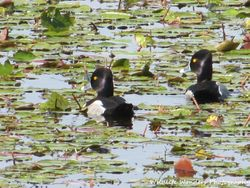Ring-necked Ducks (drakes)