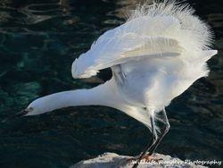 Snowy Egret with breeding plumage