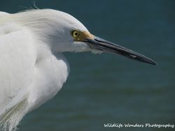 Snowy Egret (headshot)